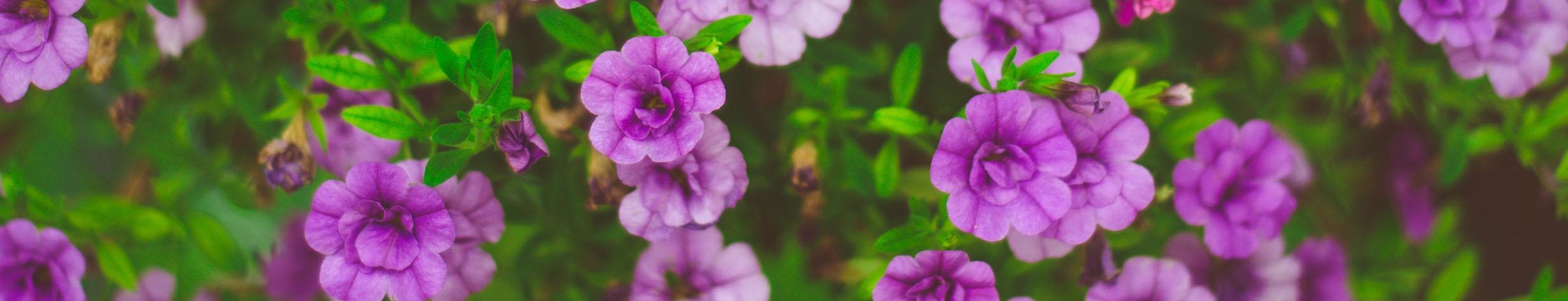 Paarse bloemen header